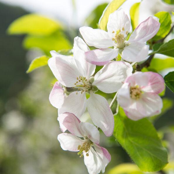 Gerade richtig zur Apfelblüte entführen wir Sie ab Bern auf unsere Carreise ins Südtirol.